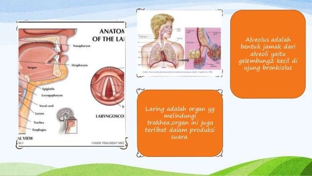 Laring adalah organ yg melindungi trakhea,organ ini juga terlibat dalam produksi suara. Alveolus adalah bentuk jamak dari ...