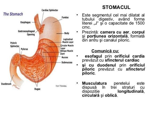STOMACUL • Mucoasa gastrică este cutată şi conţine glande gastrice care secretă sucul gastric şi mucus abundent care prote...