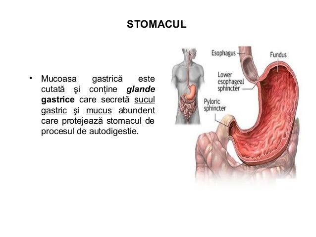 INTESTINUL SUBŢIRE • Intestinul subţire este segmentul cel mai lung al tubul digestiv care face legătura dintre stomac şi ...