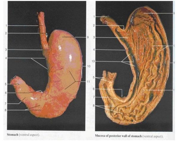 • Intestinul subţire prezintă trei segmente: - duodenul (are forma literei C), porţiunea fixă de circa 25 cm lungime, în c...