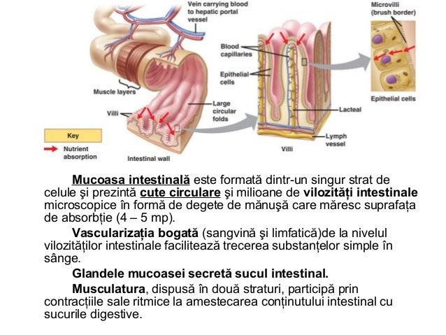 INTESTINUL GROS • Intestinul gros are o lungime de 1,5 – 1,7 m şi un diametru de • 6,5 cm. Are o importantă funcţie motori...