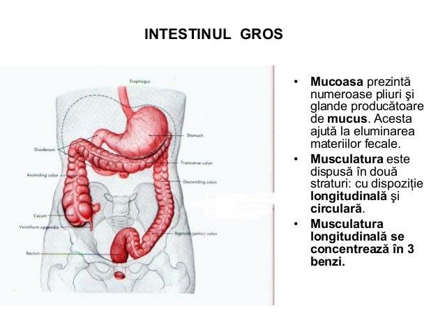 STRUCTURA GLANDELOR SALIVARE • Glandele salivare la fel ca şi pancreasul exocrin au o structură tubulo – acinoasă.