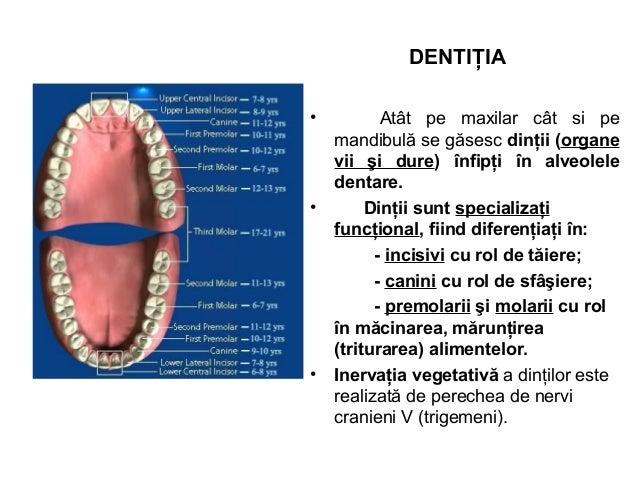 DENTIŢIA • Atât pe maxilar cât si pe mandibulă se găsesc dinţii (organe vii şi dure) înfipţi în alveolele dentare. • Dinţi...