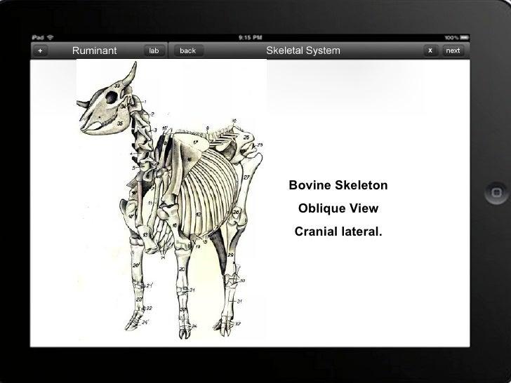Skeletal System Of Bovine