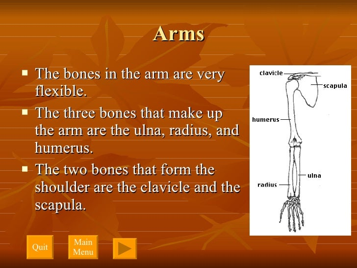 Arms <ul><li>The bones in the arm are very flexible. </li></ul><ul><li>The three bones that make up the arm are the ulna, ...