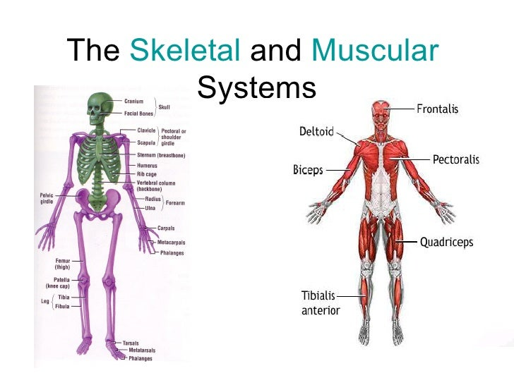 Skeletal And Muscular System Diagram – defenderauto.info