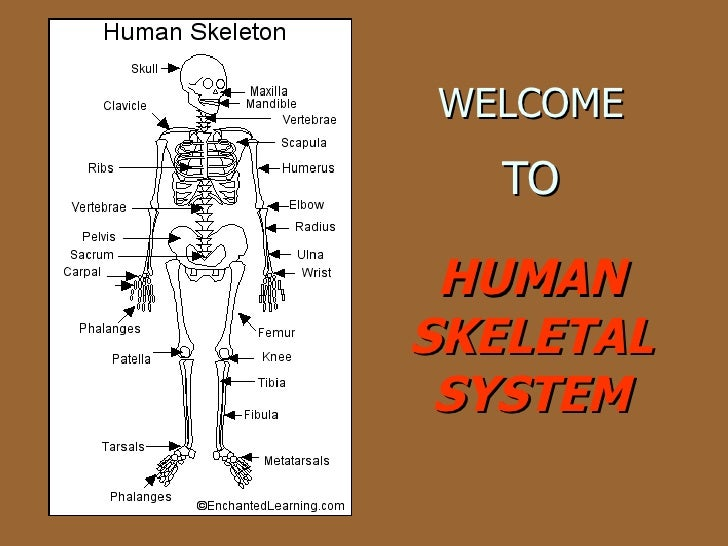 WELCOME   TO HUMAN SKELETAL SYSTEM