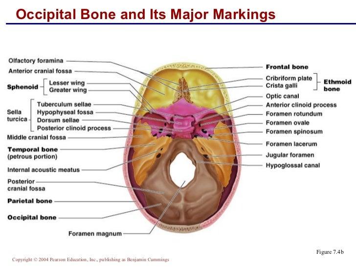 skeletal anatomy part 1, Human body