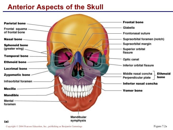 skeletal anatomy part 1, Sphenoid