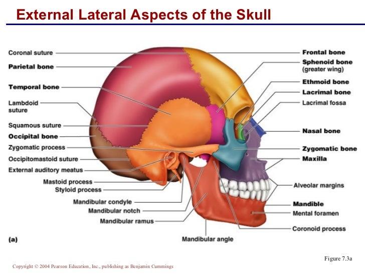 Skeletal Anatomy Part 1