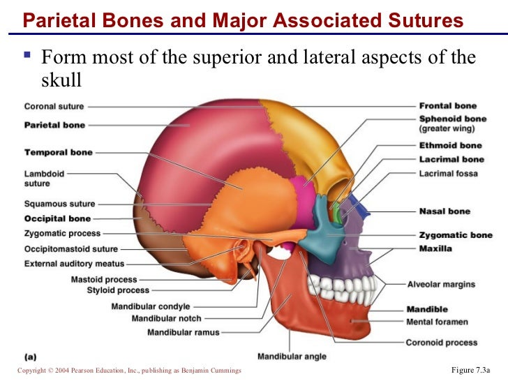 Skeletal anatomy part 1