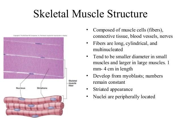 skeletal muscle, Muscles