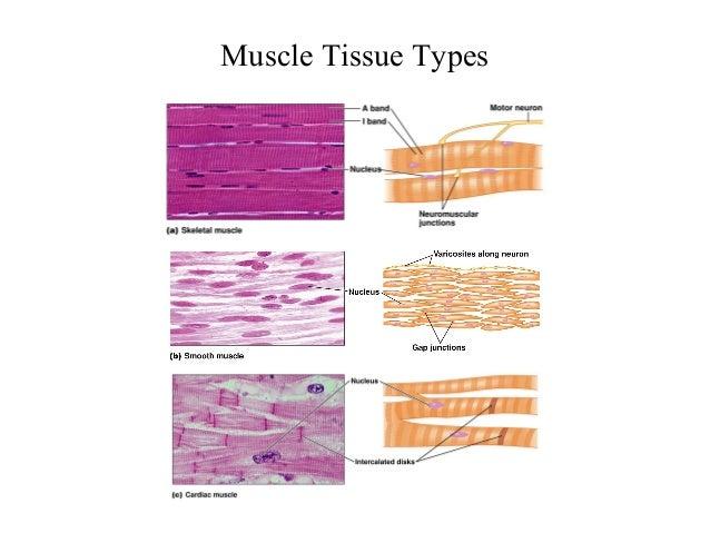 skeletal muscle, Human Body