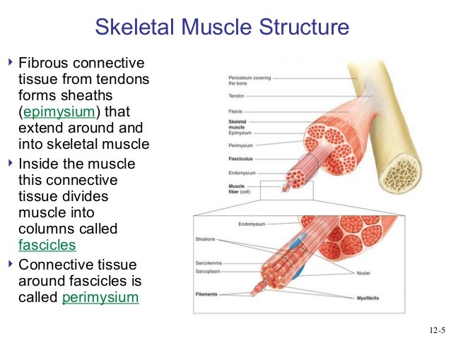 general physiology - skeletal muscles, Muscles