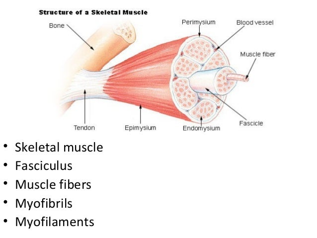 skeletal muscle physiology Inside each skeletal muscle, muscle fibers are organized into individual bundles, each called a fascicle, by a middle layer of connective tissue called the perimysium.