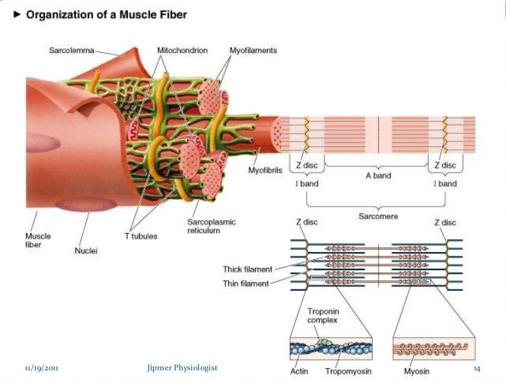 skeletal muscle structure & function, Muscles