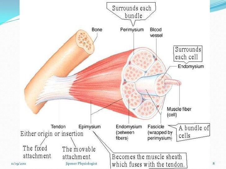 Skeletal Muscle Structure Function