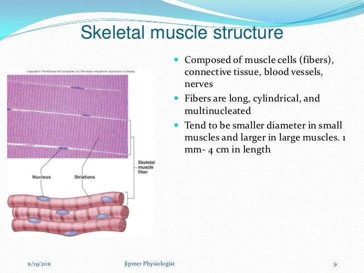 skeletal muscle structure  u0026 function