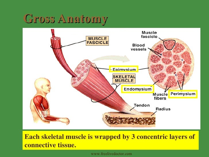 Skeletal Muscle Tissue And Organization