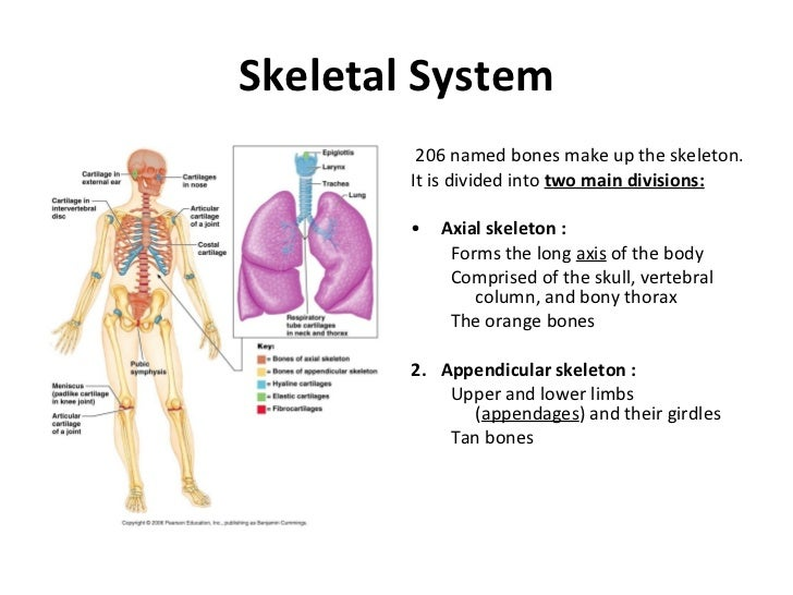 skeletal system skeletal system <ul><li>206 d bones make up the skeleton