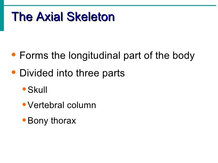 Skeletal system bones in all 26 the axial fandeluxe Image collections