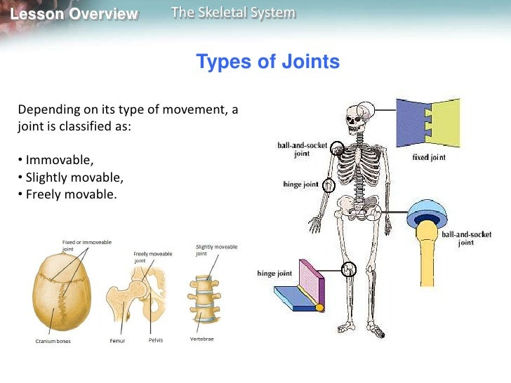 overview of the skeletal system essay The skeletal system structure allows each one of us to move the purpose if the bones is to protect the organs because our organs run.