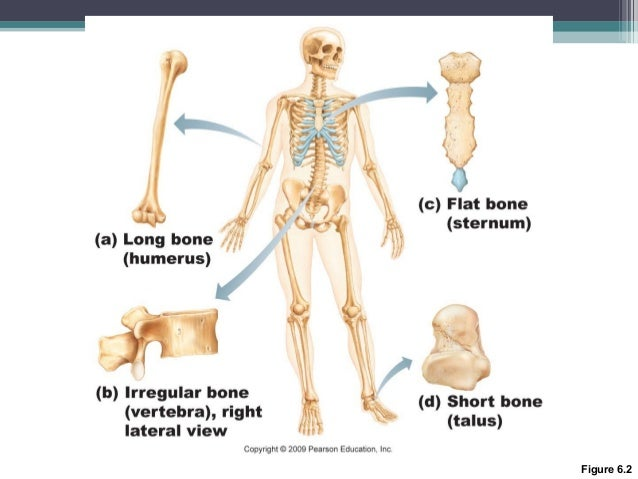 anatomy & physiology lecture notes - skeletal system, Skeleton