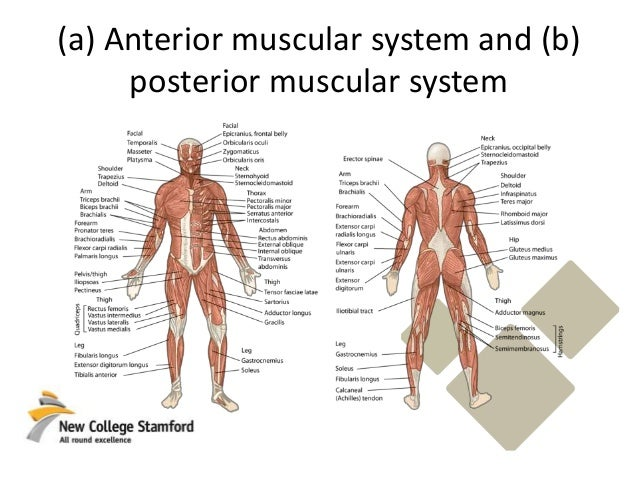 Skeletal system muscles (pearson)