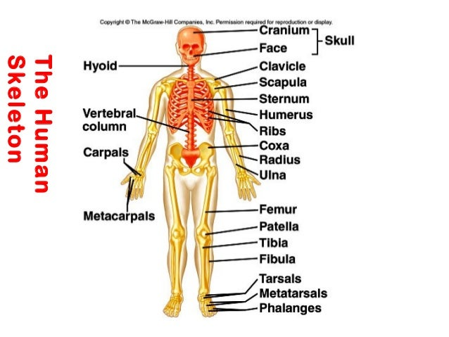 Skeletal System Appendicular Skeleton Diagram - DIY Enthusiasts ...