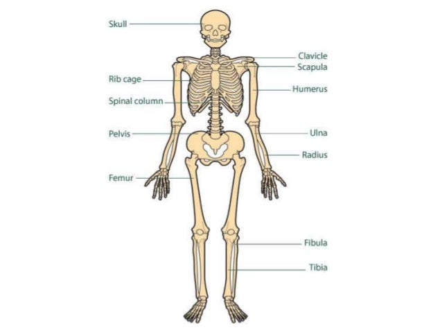 Pictures Of The Skeletal System 28