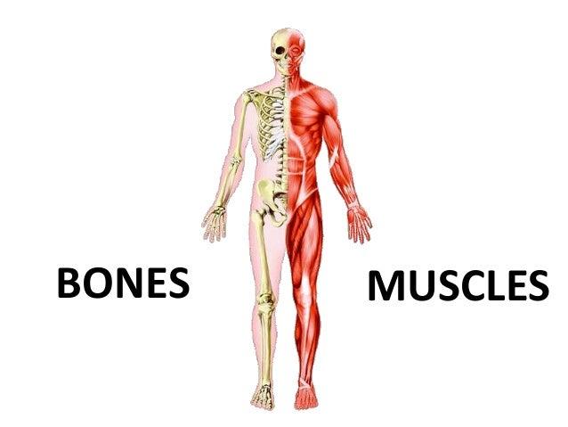 skeletal system 6, Skeleton