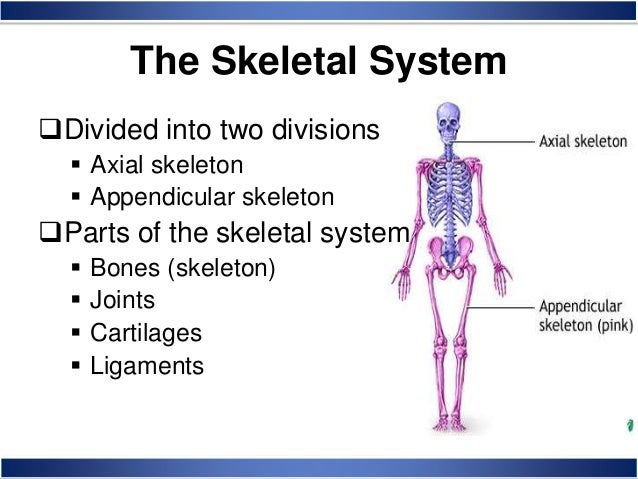 skeletal system anatomy and physiology, Skeleton