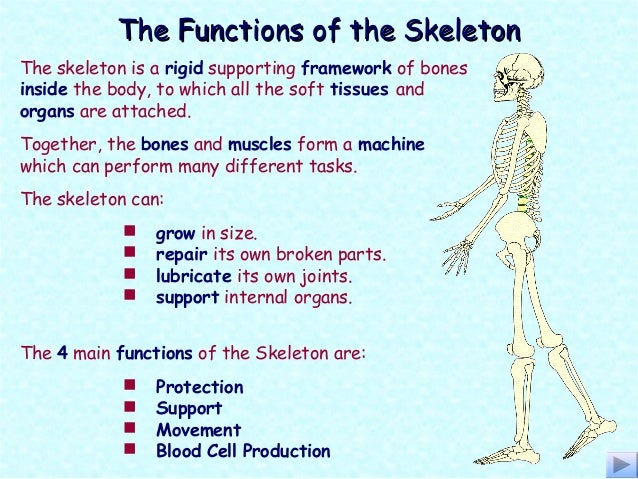 skeletal system good, Skeleton