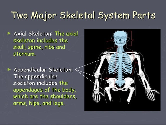 skeletal system powerpoint, Skeleton