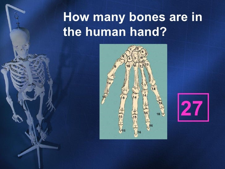 skeletal system ppt, Skeleton