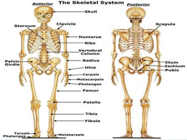 Pictures Of The Skeletal System 74