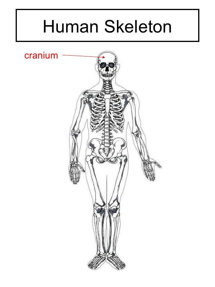 Human Skeleton cranium