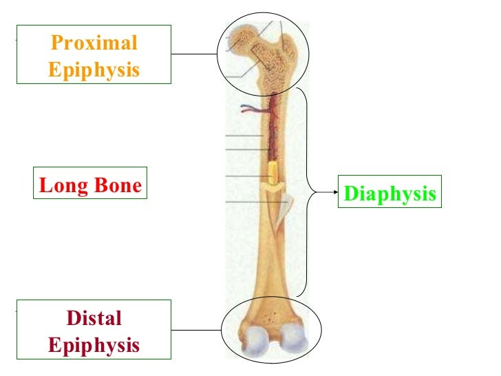 distal epiphysis Gallery