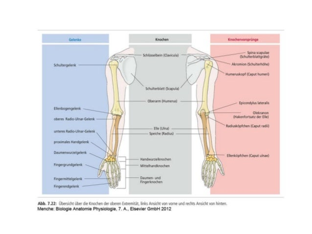 Skelett muskeln