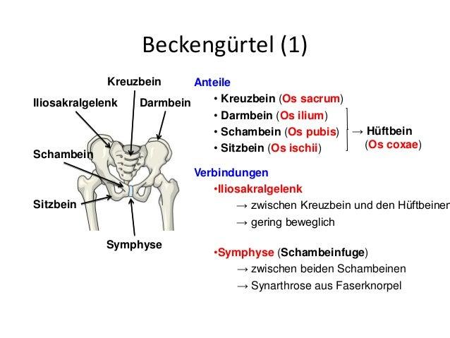 Großartig Beckengürtel Muskeln Anatomie Galerie - Anatomie Von ...