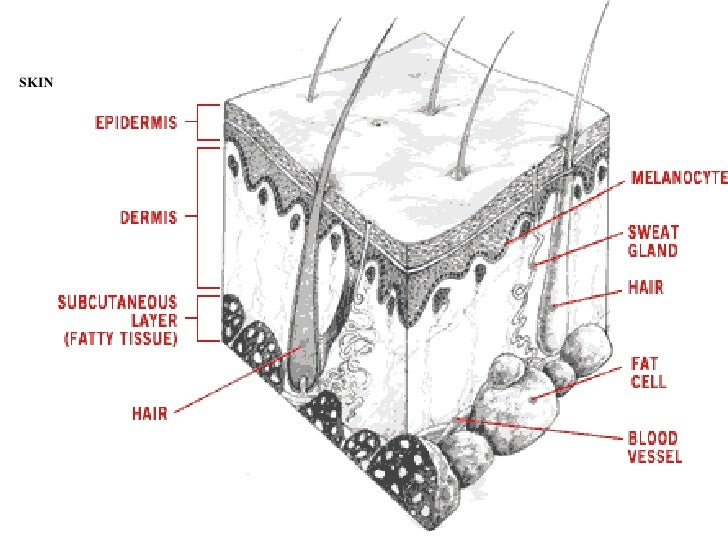 Skin Integumentary System