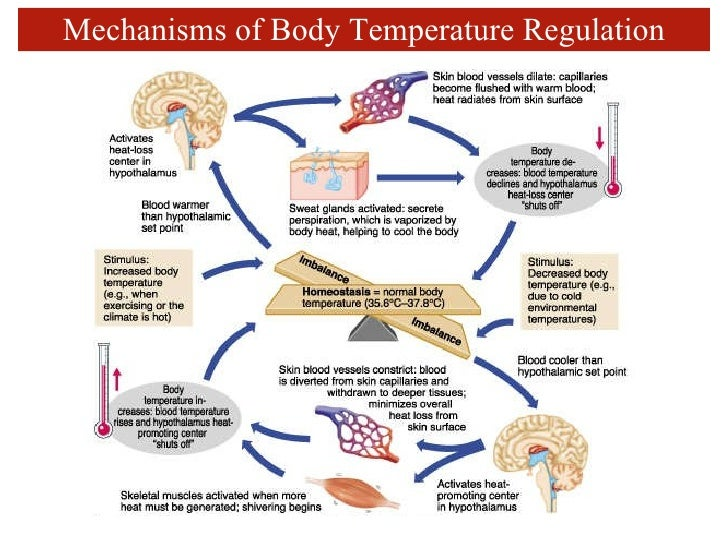 thermal regulation Body temperature regulation depends on the integrated activities of the autonomic nervous system (ans), centered predominantly in the hypothalamus the preoptic and anterior hypothalamus (po/ah) are assumed to be the brain structures, most responsible for the body temperature regulation there are.