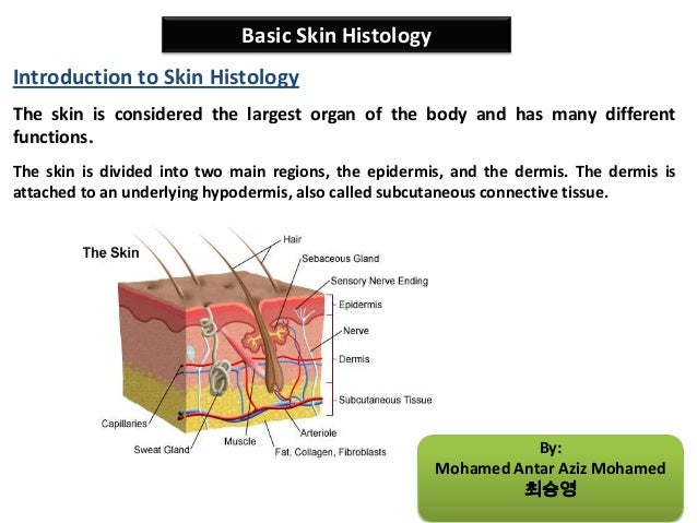 Basic skin histology 1 638gcb1381018425 basic skin histology the skin is divided into two main regions the epidermis ccuart Choice Image