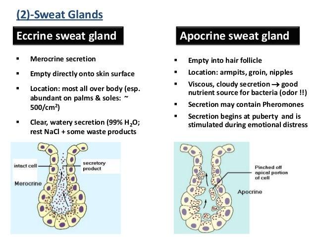 Nice Eccrine Sweat Gland Photos - Internal organs diagram ...