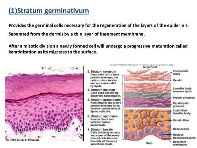 basic skin histology, Cephalic Vein