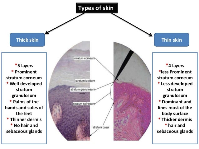 Basic skin histology 8 types of skin ccuart Image collections