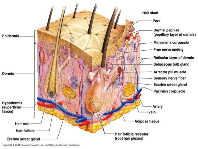 skin anatomy & physiology for ayush students, Human Body