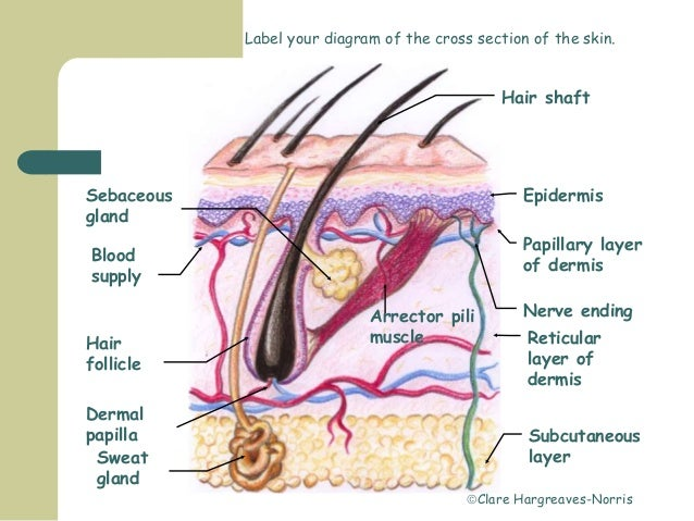 skin and dermal papillae (plural = dermal papillae) extension of the papillary layer of the dermis that increases surface contact between the epidermis and dermis.