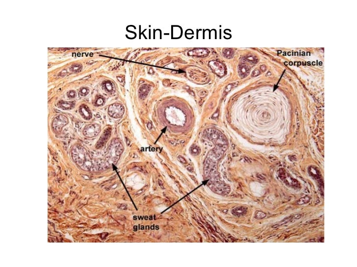 Skin-Dermis