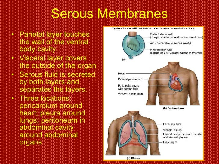 555316 in addition Chapter 1 Notes further View additionally 6930765 likewise Mesh info. on ventral body cavity membranes